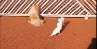 Попугай лает с псами у ворот и стережет дом — забавное видео
