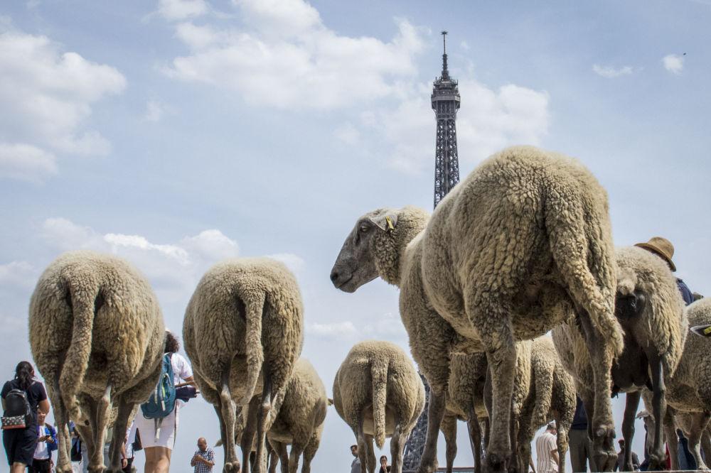 Койчулар 6-июлдан тарта Париждин көчөлөрүндө койлорду жайышууда