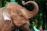 Мужчина кормит слона. Архивное фото