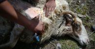 Чабан стрижет барана. Архивное фото