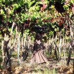 Сбой урожая винограда на окраине египетского города Гиза