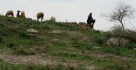 Местный житель пасет овец. Архивное фото