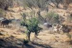 Туристы в Национальном парке Крюгера в ЮАР стали свидетелями спасения буйвола от львиного прайда.