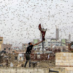 Мужчина ловит саранчу в столице Йемена — Сане
