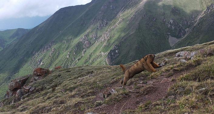 Фотоловушки запечатлели краснокнижных животных вне заповедной зоны на территории Ак-Сууйского и Тюпского районов Иссык-Кульской области