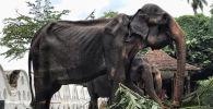 Фото с изможденным слоном на буддистском фестивале Эсала Перахера в Шри-Ланке