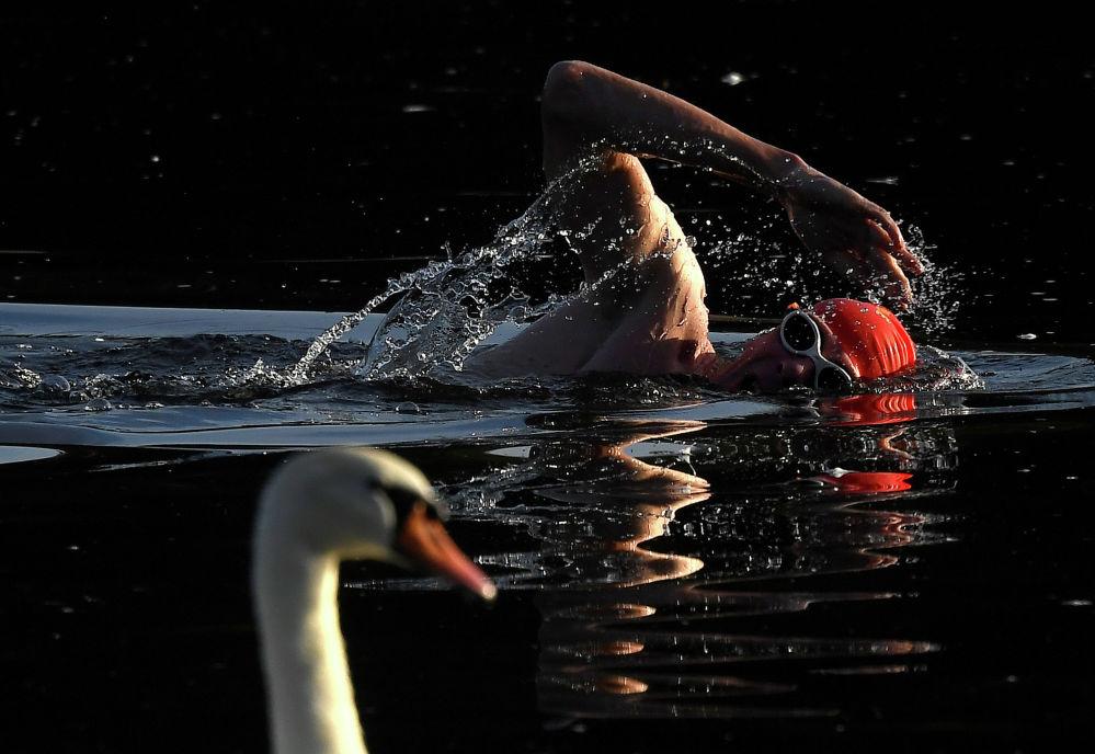 Пловец рядом с лебедем на озере Серпантин в Лондоне (Великобритания)