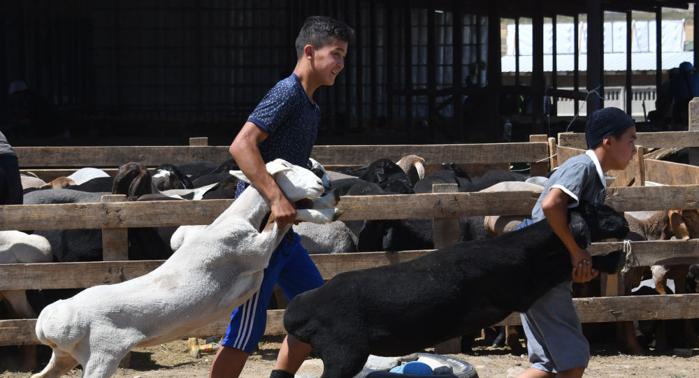 Кыргызские мальчики тащат овцу на открытом рынке скота в Бишкеке, накануне мусульманского праздника Ид аль-Адха, мусульманского праздника жертвоприношения, известного местно как Курбан Байрам. 10 августа 2019 года