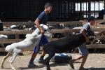 Кыргызские мальчики тащат овцу на открытом рынке скота в Бишкеке. Архивное фото