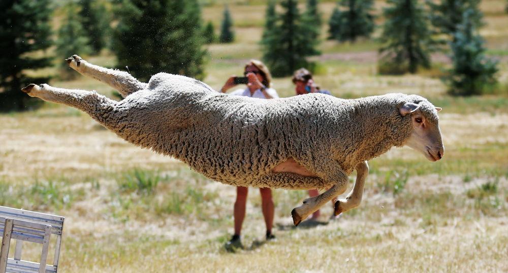 АКШнын Юта штатындагы койлорду короого киргизүү боюнча мелдеш аяктады.