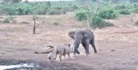 Ожесточенная драка слона и носорога попала на видео