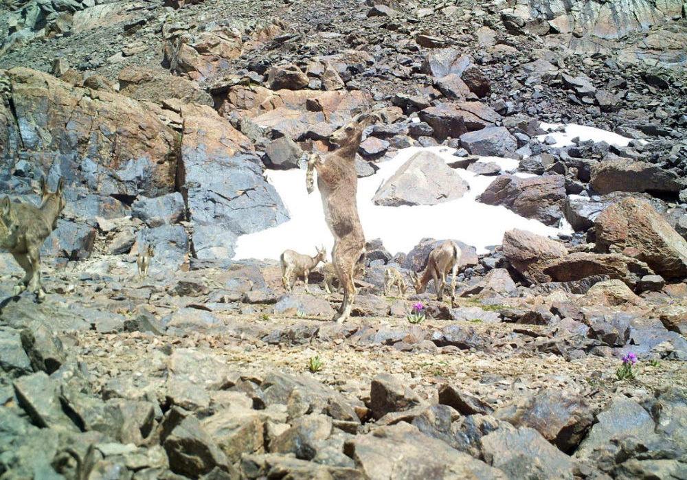 Фотоловушки запечатлели горных козлов на территории южной экспозиции хребта Кыргыз Ала-Тоо