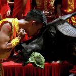 Вьетнамда Do Son фестивалы өтүп, фермерлер өстүргөн буйволдорун сынга койду