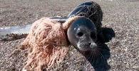 Акыркы учурда Каспий деңизинин аймагында тюлендердин өлүп калган учурлары катталууда. Буга негизги себеп – балыкчылардын тору экени маалым.