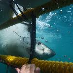 В Гансбай (Южная Африка) экстремалы едут, чтобы поплавать с белыми акулами — самыми опасными морскими хищниками