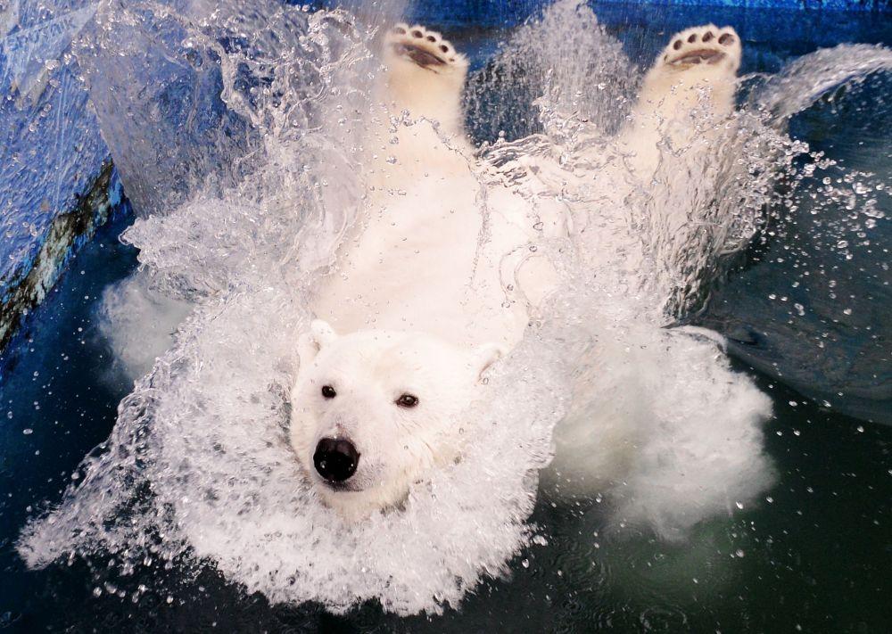 Урсула деген ат ыйгарылган ак аюу Красноярск аймагындагы зоопаркта сууга секирүүдө