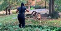 Нью-йоркская полиция ищет посетительницу зоопарка в Бронксе, забравшуюся в вольер, чтобы подразнить льва.