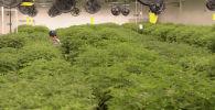 Выращивание медицинской марихуаны. Архивное фото