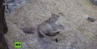 В социальных сетях становится вирусным забавное видео, на котором львицу пугает ее двухмесячный детеныш.