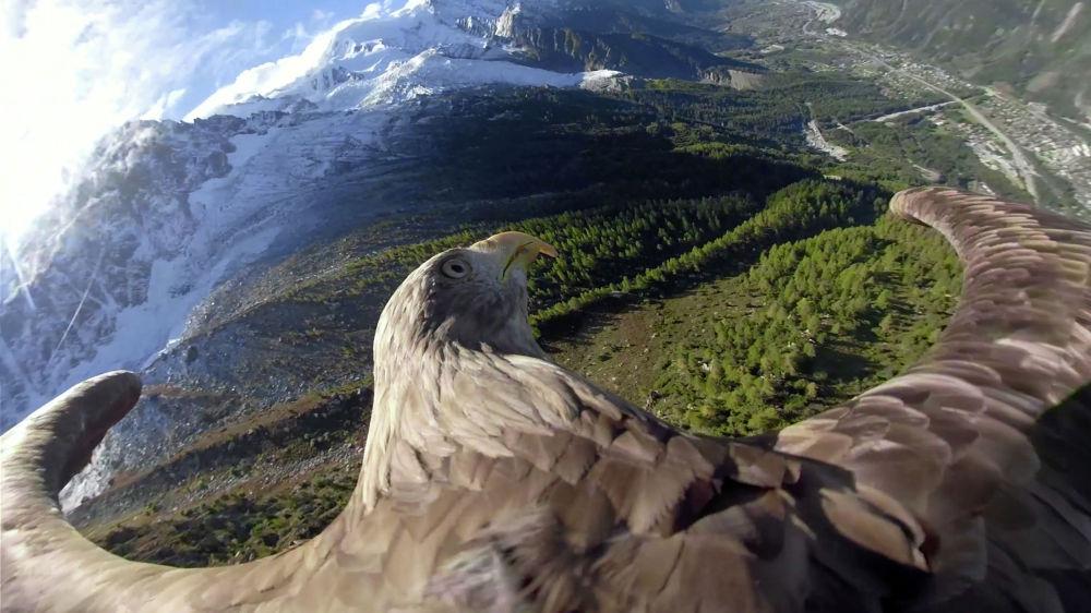 Девятилетний орел Виктор стал оператором: он полетал над Альпами с прикрепленной к спине видеокамерой