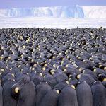 Более 5 тысяч императорских пингвинов сбились в тесную стаю. Фото Штефана Кристманна под названием Толкучка победило в категории Портфолио.