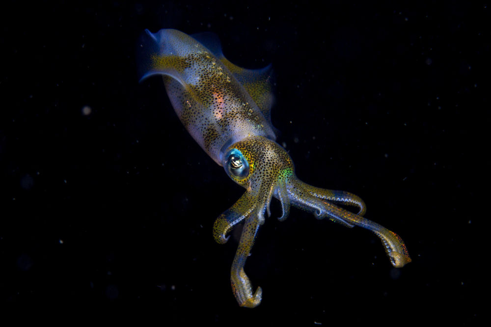 Юношеский гран-при в этом году завоевал 14-летний Круз Эрдманн за фотографию рифового кальмара, сделанную вблизи индонезийского острова Сулавеси