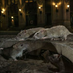 Лучший снимок в категории Дикая природа в городе. Этих крыс Чарли Хэмилтон-Джеймс увидел на Манхэттене (Нью-Йорк).