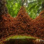 Муравьи-солдаты в Коста-Рике строят гнездо из собственных тел, сцепляясь в гирлянды. Дэниел Кронауэр назвал свое фото Архитектурная армия.