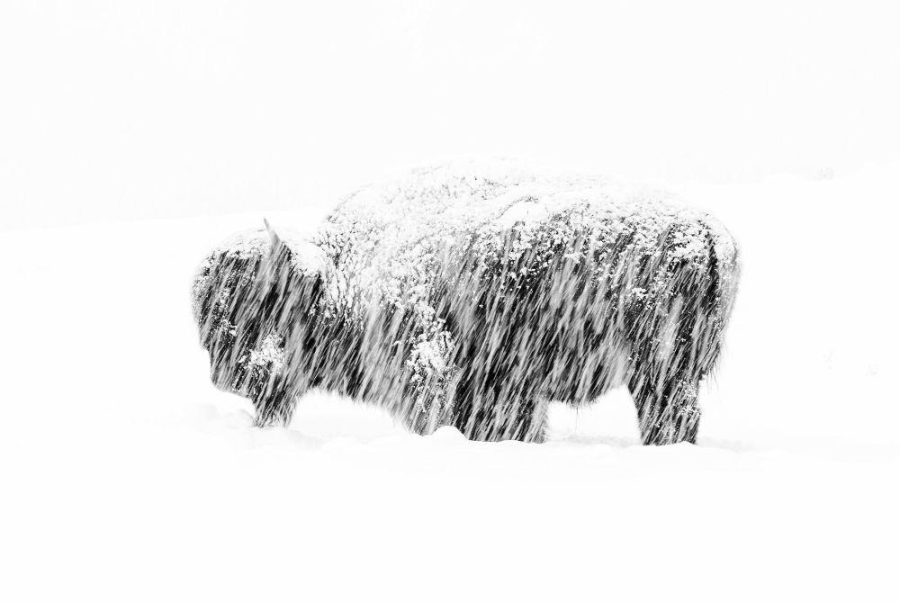 В категории Черное и белое лучшим признали Мака Во, который запечатлел бизона в Йеллоустонском заповеднике