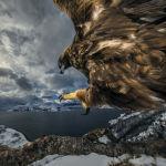 Эта съемка заняла у Одена Рикардсена три года, фото победило в номинации Поведение птиц