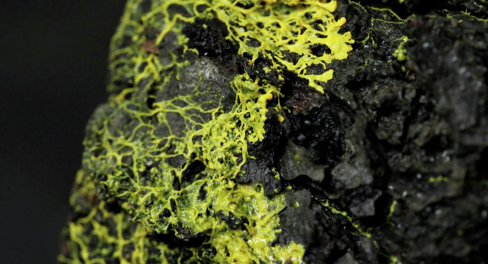 Многоголовая слизь (Physarum polycephalum) в Парижском зоопарке