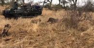 В национальном заповеднике Крюгера в ЮАР туристы стали очевидцами, как голодная гиена попыталась завладеть добычей леопарда, однако оставила всех без еды.