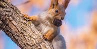 Белка с орешком во рту на дереве. Архивное фото