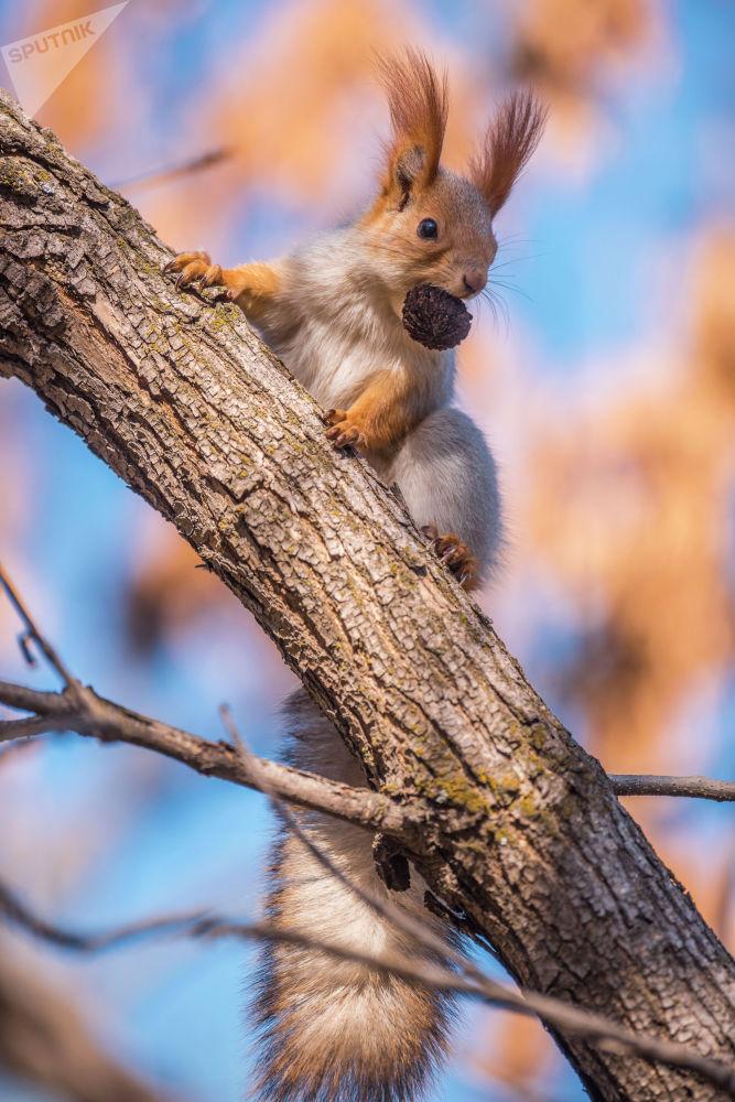 Белка с орешком во рту на дереве
