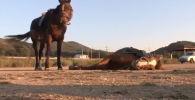 Видео невероятной актерской игры лошади появилось на корейском веб-канале и тут же стало вирусным. На данной момент ролик набрал 23 миллиона просмотров.