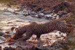 Голодный леопард стал рыбаком в грязевой луже — видео