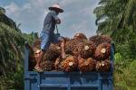 Фермер загружает в грузовик сырье для производства пальмового масла. Архивное фото