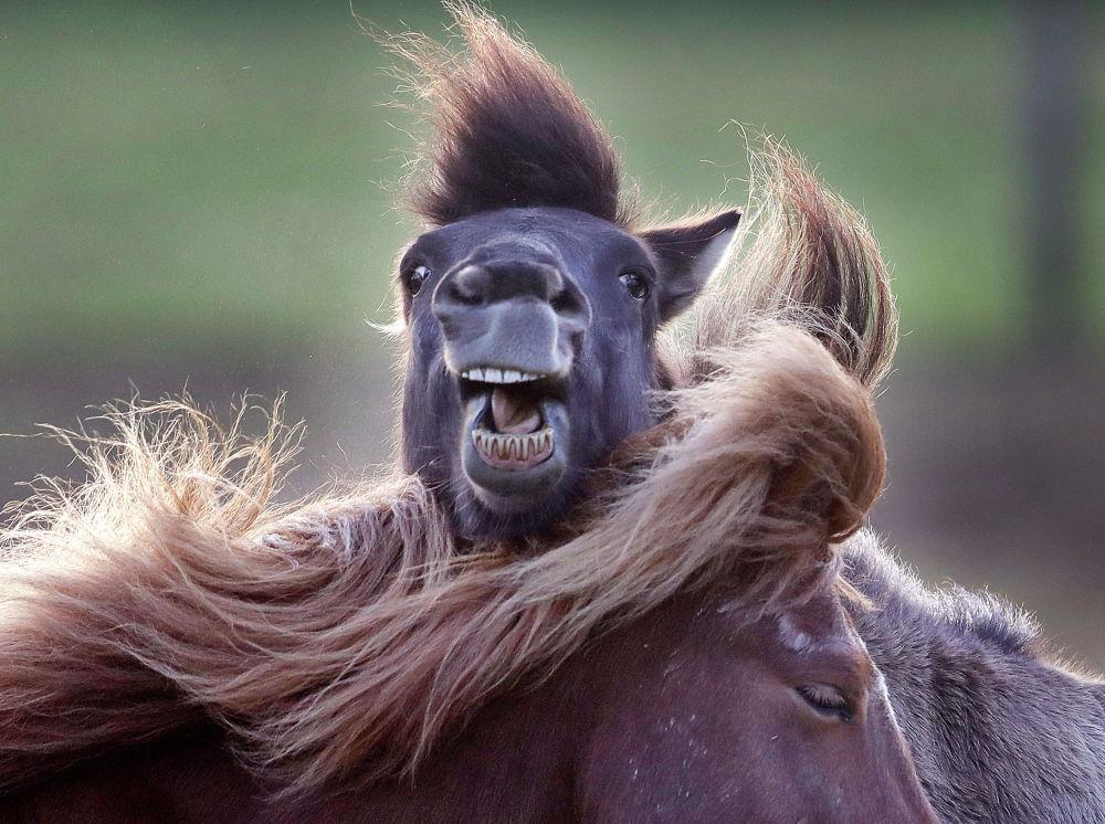 Лошади исландской породы в немецком Верхайме