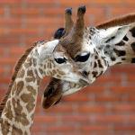 Детеныш жирафа Ротшильда в зоопарке чешского города Либерец