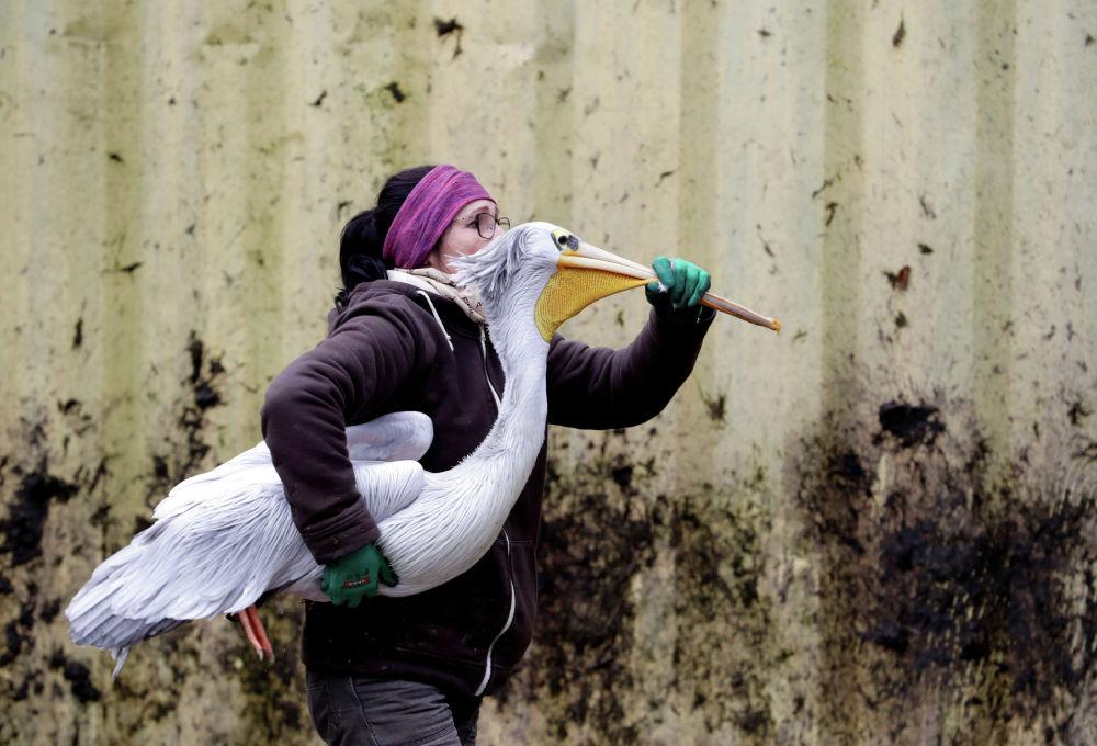 Сотрудница зоопарка Двур-Кралове в Чехии несет пеликана в зимний вольер.
