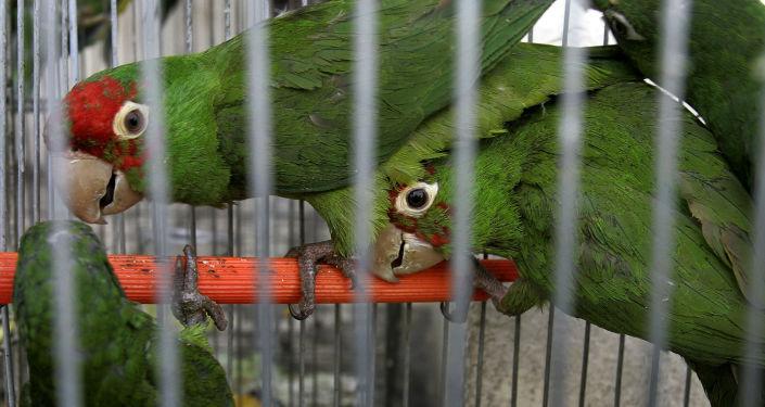 Зеленые попугаи. Архивное фото