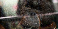 Борнейский орангутан в Московском зоопарке. 12 февраля Московскому зоопарку исполняется 155 лет.