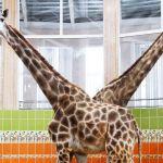 Жирафы во время тренировки в Красноярском зоопарке