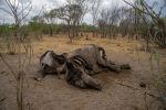 Слон умерший в результате засухи в Зимбабве. Архивное фото