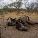 Небывалая засуха в Зимбабве угрожает продовольственной безопасности страны. Животные в национальных парках истощены, в поисках воды уже погибли около 200 слонов. Сильно пересох знаменитый водопад Виктория.