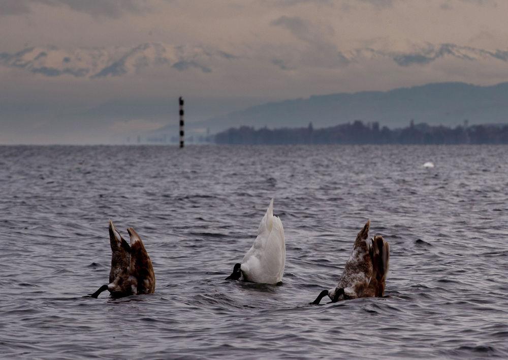 Лебеди на Боденском озере в Германии
