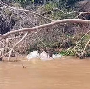 В сафари-парке Бразилии туристы стали свидетелями драматичных разборок между семейством выдр и ягуаром.