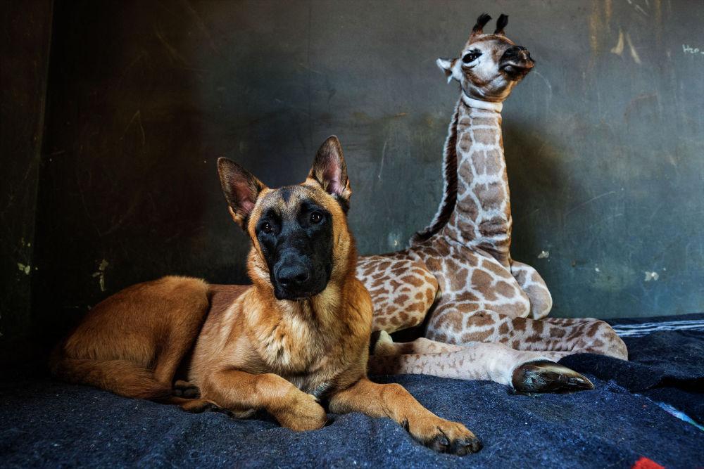 Бельгийская овчарка Хантер позаботилась о девятидневном жирафе Джазе после того, как мать бросила его после рождения в приюте для носорогов в Лимпопо