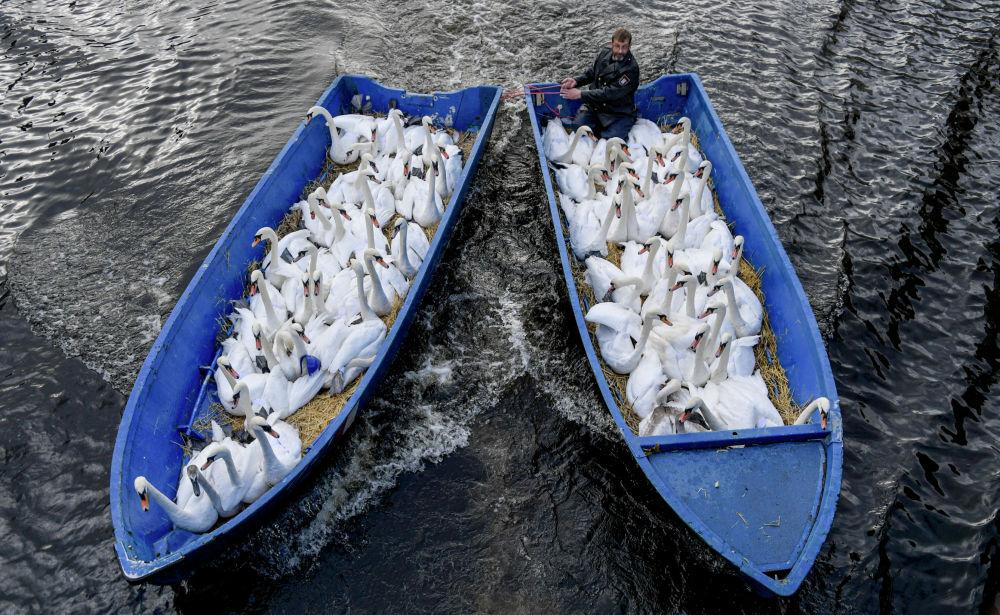 Отец лебедей Олаф Нис собирает птиц на зимовку в Гамбурге.