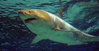 Ак акула. Архив